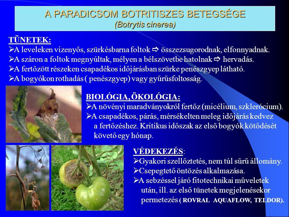 A PARADICSOM BOTRITISZES BETEGSÉGE (Botrytis cinerea) TÜNETEK:  A leveleken vizenyős, szürkésbarna foltok  összezsugorodnak, elfonnyadnak.  A száro