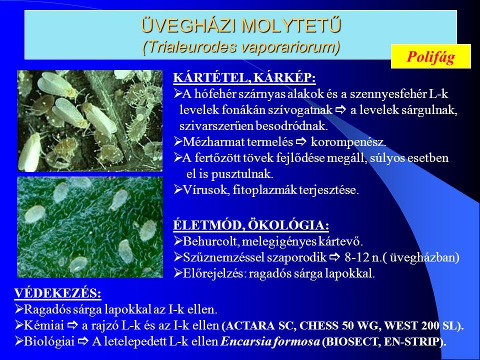 ÜVEGHÁZI MOLYTETŰ (Trialeurodes vaporariorum) KÁRTÉTEL, KÁRKÉP:  A hófehér szárnyas alakok és a szennyesfehér L-k levelek fonákán szívogatnak  a lev