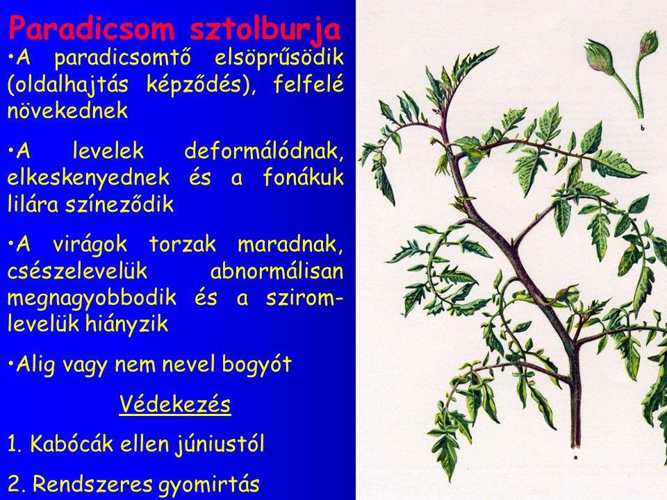 Paradicsom sztolburja A paradicsomtő elsöprűsödik (oldalhajtás képződés), felfelé növekednek A levelek deformálódnak, elkeskenyednek és a fonákuk lilá