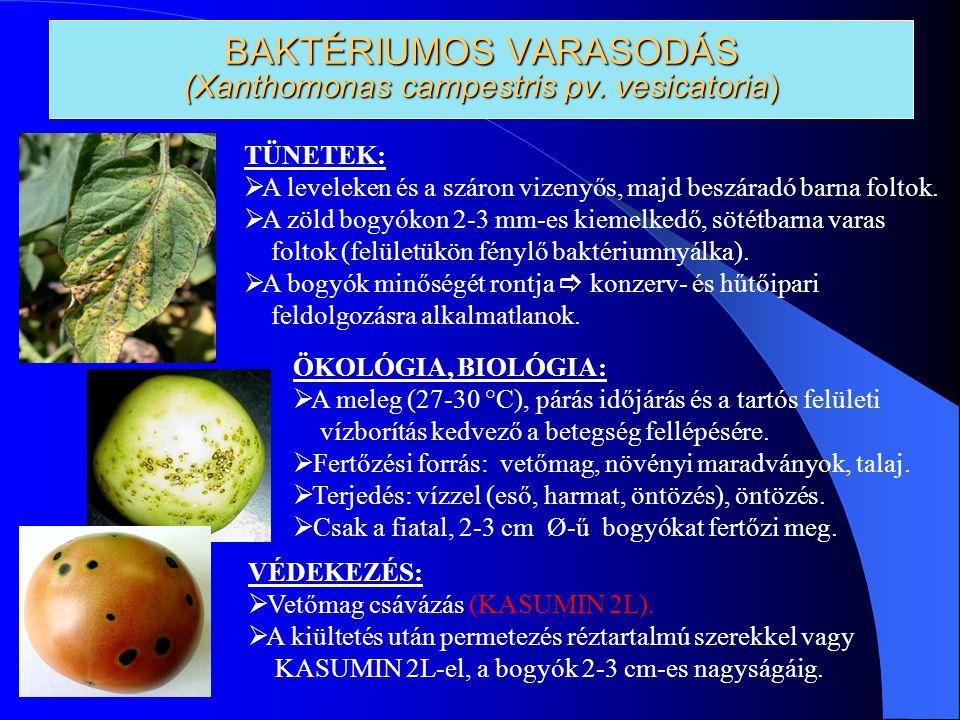 BAKTÉRIUMOS VARASODÁS (Xanthomonas campestris pv. vesicatoria) TÜNETEK:  A leveleken és a száron vizenyős, majd beszáradó barna foltok.  A zöld bogy