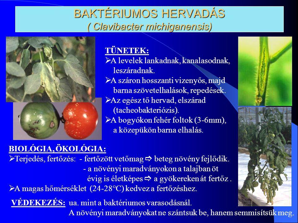BAKTÉRIUMOS HERVADÁS ( Clavibacter michiganensis) TÜNETEK:  A levelek lankadnak, kanalasodnak, leszáradnak.  A száron hosszanti vizenyős, majd barna