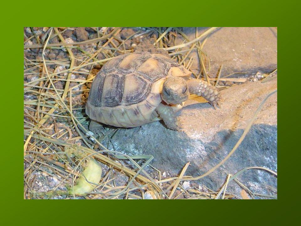 Gyakori problémák Nutritiv osteodystrophiaNutritiv osteodystrophia –Főleg rossz Ca:P arány A-vitamin túladagolásA-vitamin túladagolás –Max.: 2000 NE/ttkg Pl.: 40 g tömegű teknősnek maximum 0,005 ml Duphafral multi inj.Pl.: 40 g tömegű teknősnek maximum 0,005 ml Duphafral multi inj.