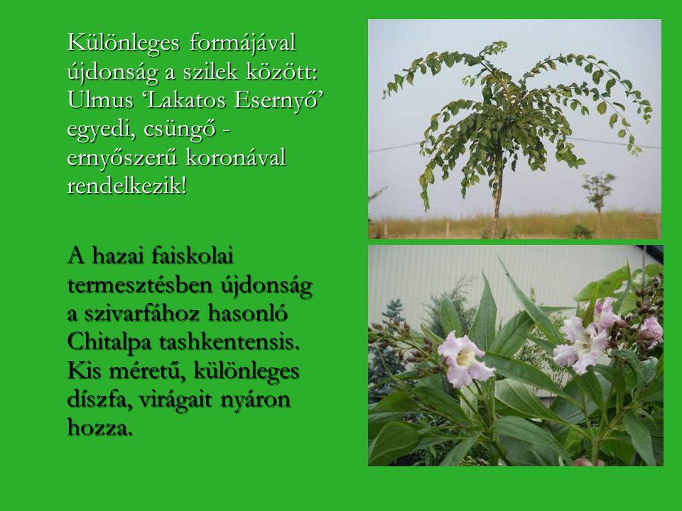 Különleges formájával újdonság a szilek között: Ulmus 'Lakatos Esernyő' egyedi, csüngő - ernyőszerű koronával rendelkezik! A hazai faiskolai termeszté