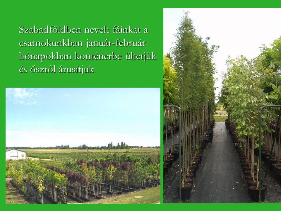 Szabadföldben nevelt fáinkat a csarnokunkban január-február hónapokban konténerbe ültetjük és ősztől árusítjuk