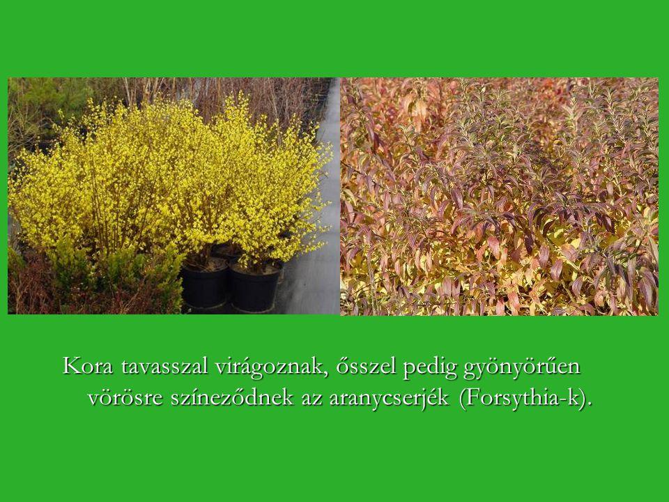 Kora tavasszal virágoznak, ősszel pedig gyönyörűen vörösre színeződnek az aranycserjék (Forsythia-k).