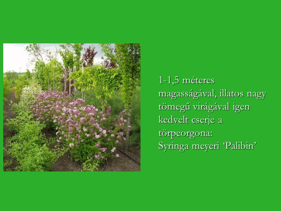 1-1,5 méteres magasságával, illatos nagy tömegű virágával igen kedvelt cserje a törpeorgona: Syringa meyeri 'Palibin'