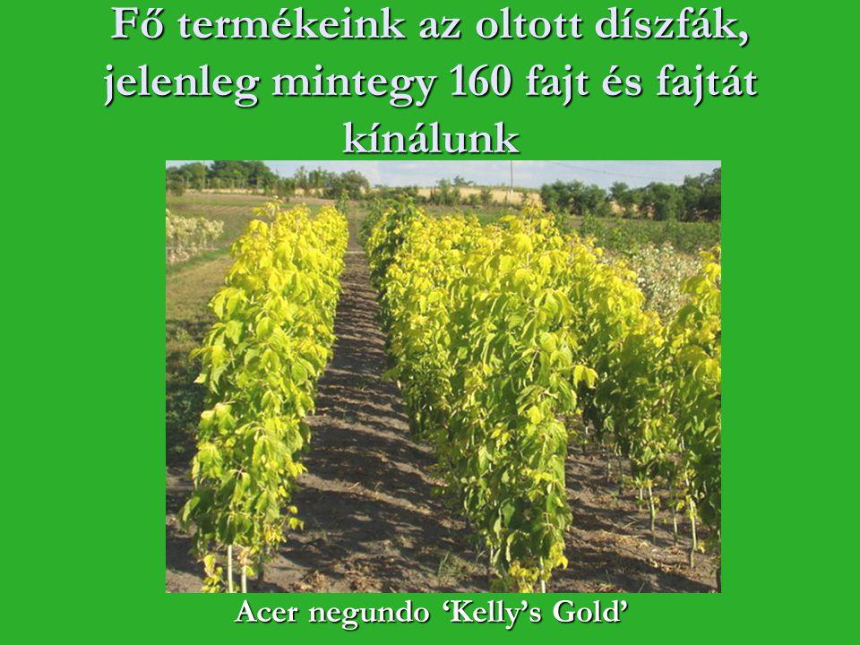 Fő termékeink az oltott díszfák, jelenleg mintegy 160 fajt és fajtát kínálunk Acer negundo 'Kelly's Gold'
