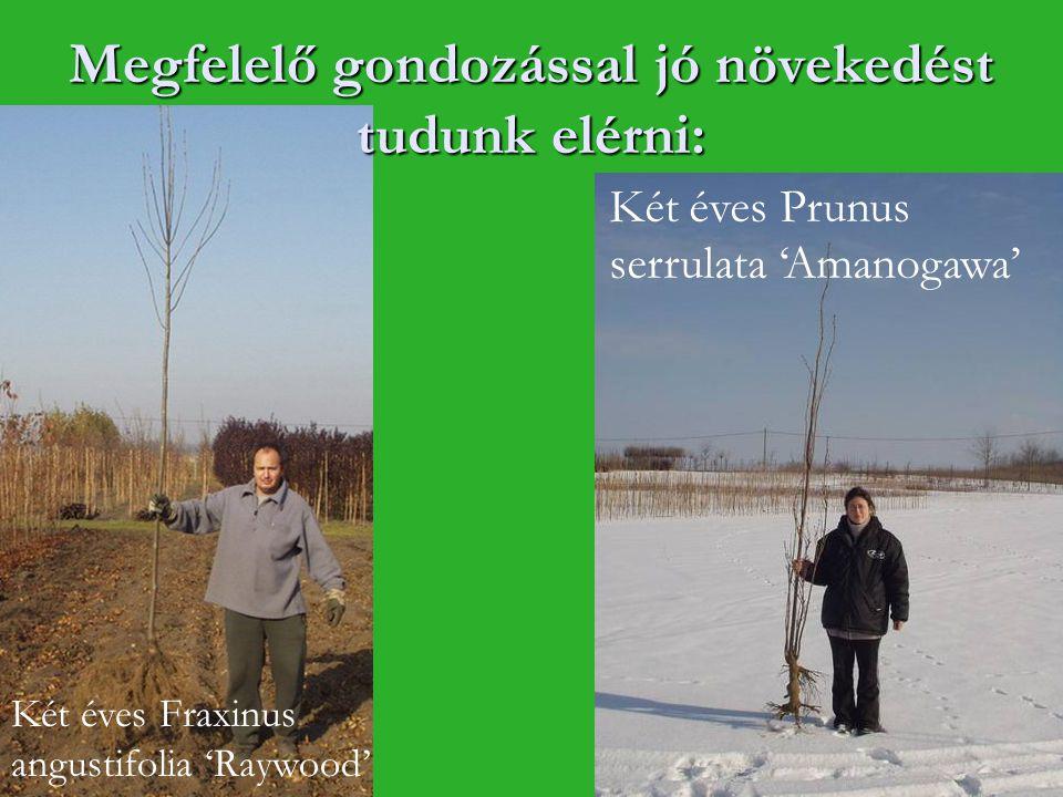 Megfelelő gondozással jó növekedést tudunk elérni: Két éves Prunus serrulata 'Amanogawa' Két éves Fraxinus angustifolia 'Raywood'