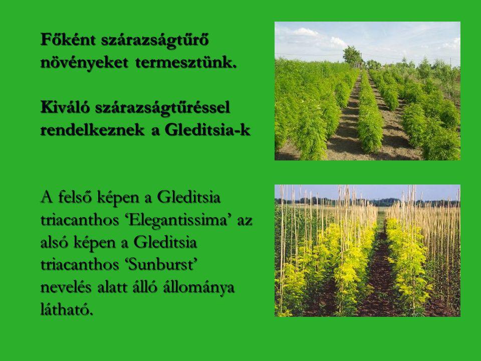 Főként szárazságtűrő növényeket termesztünk. Kiváló szárazságtűréssel rendelkeznek a Gleditsia-k A felső képen a Gleditsia triacanthos 'Elegantissima'
