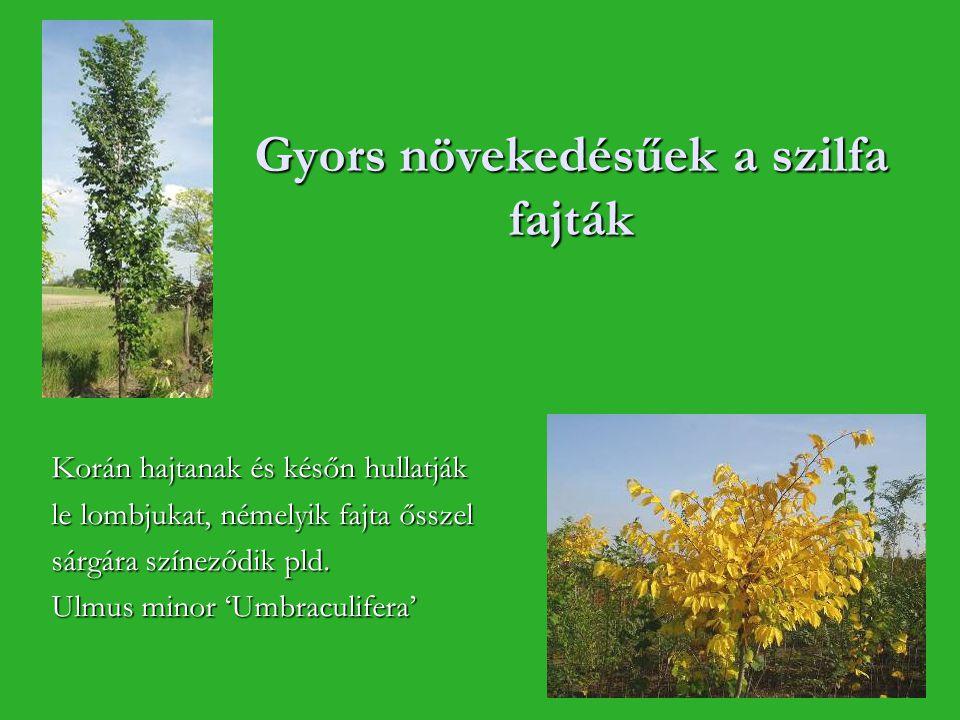Gyors növekedésűek a szilfa fajták Korán hajtanak és későn hullatják le lombjukat, némelyik fajta ősszel sárgára színeződik pld. Ulmus minor 'Umbracul