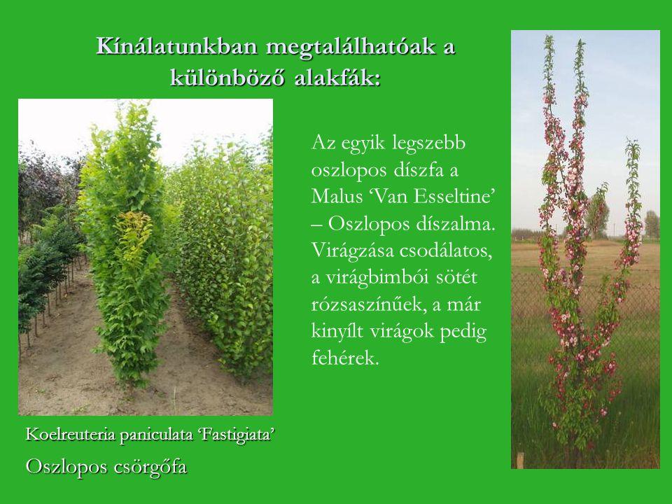 Kínálatunkban megtalálhatóak a különböző alakfák: Koelreuteria paniculata 'Fastigiata' Oszlopos csörgőfa Az egyik legszebb oszlopos díszfa a Malus 'Va