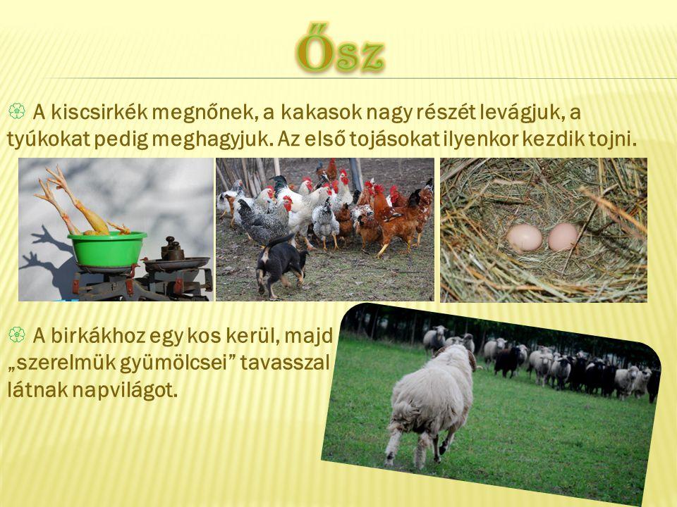  A kiscsirkék megnőnek, a kakasok nagy részét levágjuk, a tyúkokat pedig meghagyjuk. Az első tojásokat ilyenkor kezdik tojni.  A birkákhoz egy kos k