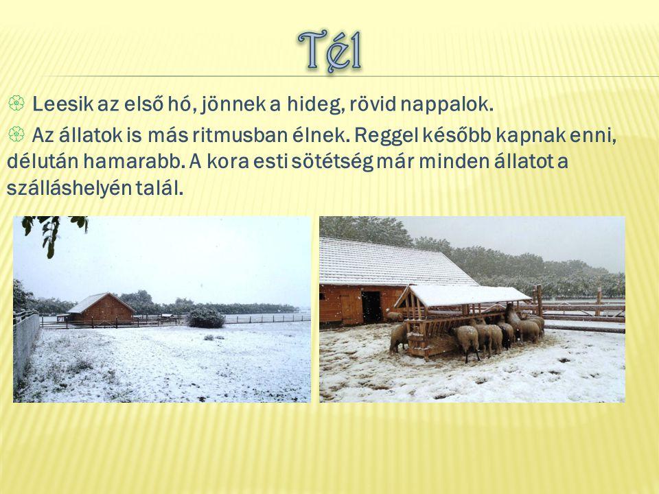  Leesik az első hó, jönnek a hideg, rövid nappalok.  Az állatok is más ritmusban élnek. Reggel később kapnak enni, délután hamarabb. A kora esti söt