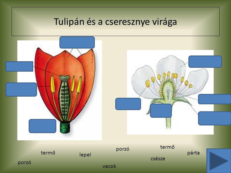 Tulipán és a cseresznye virága porzó lepel csésze párta porzó termő vacok