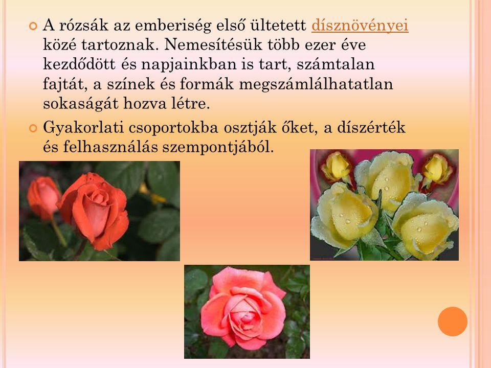 A rózsák az emberiség első ültetett dísznövényei közé tartoznak. Nemesítésük több ezer éve kezdődött és napjainkban is tart, számtalan fajtát, a színe