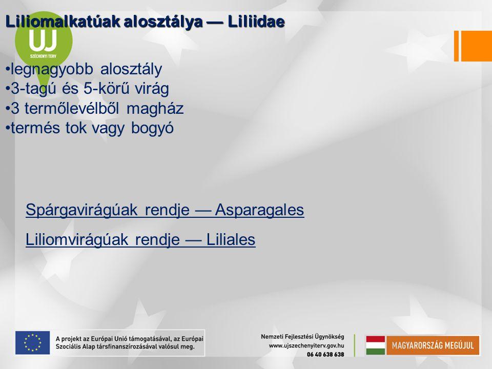 Liliomalkatúak alosztálya — Liliidae legnagyobb alosztály 3-tagú és 5-körű virág 3 termőlevélből magház termés tok vagy bogyó Spárgavirágúak rendje —