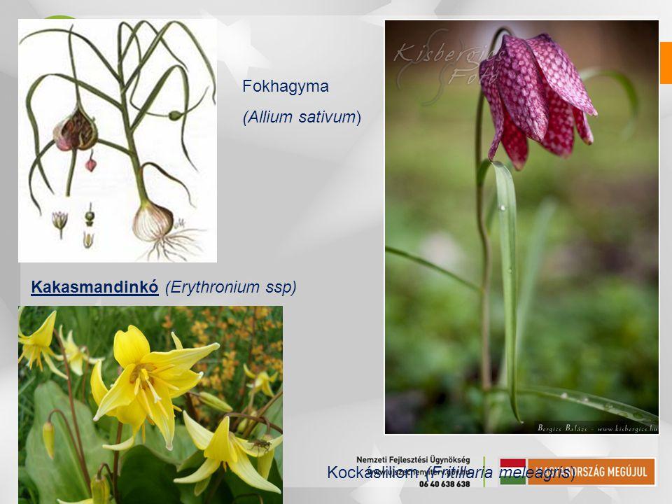 Kakasmandinkó (Erythronium ssp) Fokhagyma (Allium sativum) Kockásliliom (Fritillaria meleagris)