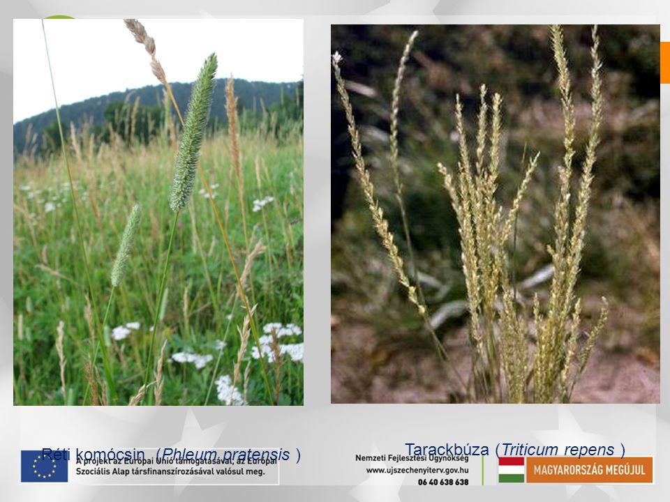 Réti komócsin (Phleum pratensis ) Tarackbúza (Triticum repens )