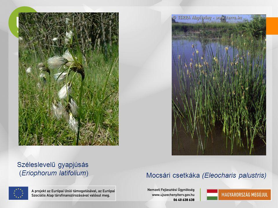 Széleslevelű gyapjúsás (Eriophorum latifolium) Mocsári csetkáka (Eleocharis palustris)
