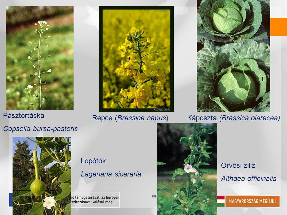 Pásztortáska Capsella bursa-pastoris Repce (Brassica napus)Káposzta (Brassica olarecea) Lopótök Lagenaria siceraria Orvosi ziliz Althaea officinalis