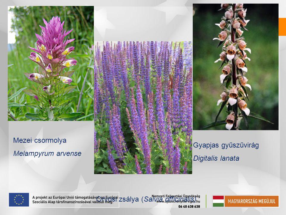 Mezei csormolya Melampyrum arvense Gyapjas gyűszűvirág Digitalis lanata Orvosi zsálya (Salvia officinalis)