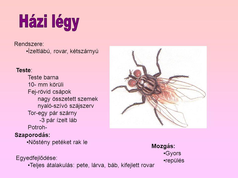 Rendszere: Ízeltlábú, rovar, kétszárnyú Teste: Teste barna 10- mm körüli Fej-rövid csápok nagy összetett szemek nyaló-szívó szájszerv Tor-egy pár szárny -3 pár ízelt láb Potroh- Mozgás: Gyors repülés Szaporodás: Nőstény petéket rak le Egyedfejlődése: Teljes átalakulás: pete, lárva, báb, kifejlett rovar