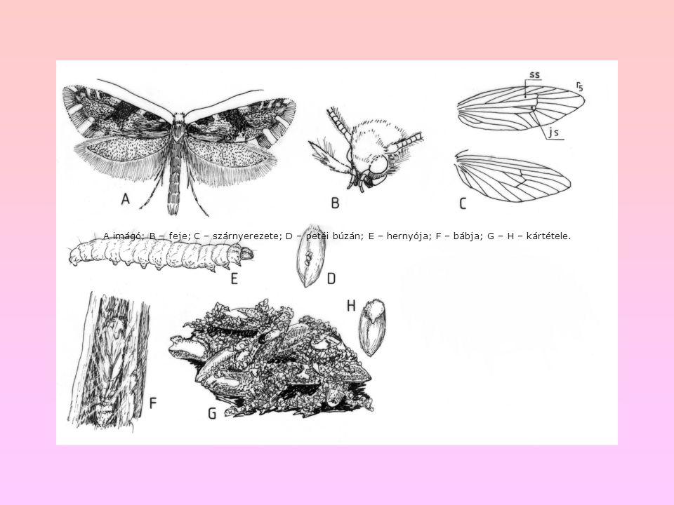 A imágó; B – feje; C – szárnyerezete; D – petéi búzán; E – hernyója; F – bábja; G – H – kártétele.