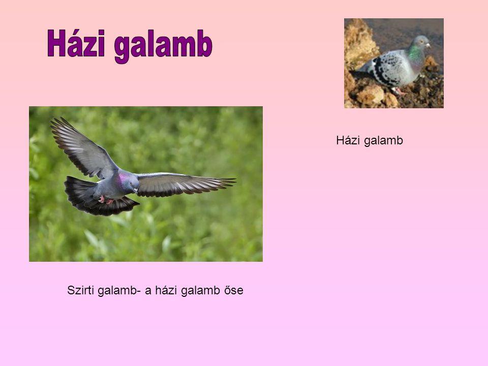 Szirti galamb- a házi galamb őse Házi galamb