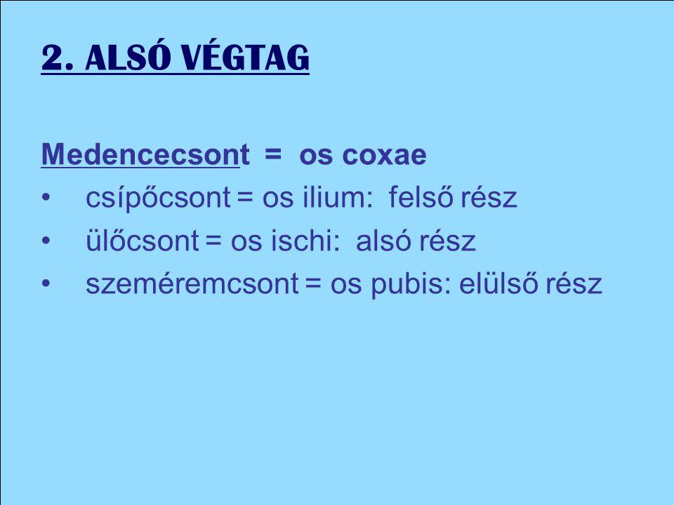 2. ALSÓ VÉGTAG Medencecsont = os coxae csípőcsont = os ilium: felső rész ülőcsont = os ischi: alsó rész szeméremcsont = os pubis: elülső rész