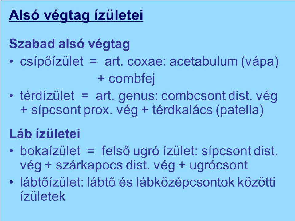 Alsó végtag ízületei Szabad alsó végtag csípőízület = art. coxae: acetabulum (vápa) + combfej térdízület = art. genus: combcsont dist. vég + sípcsont