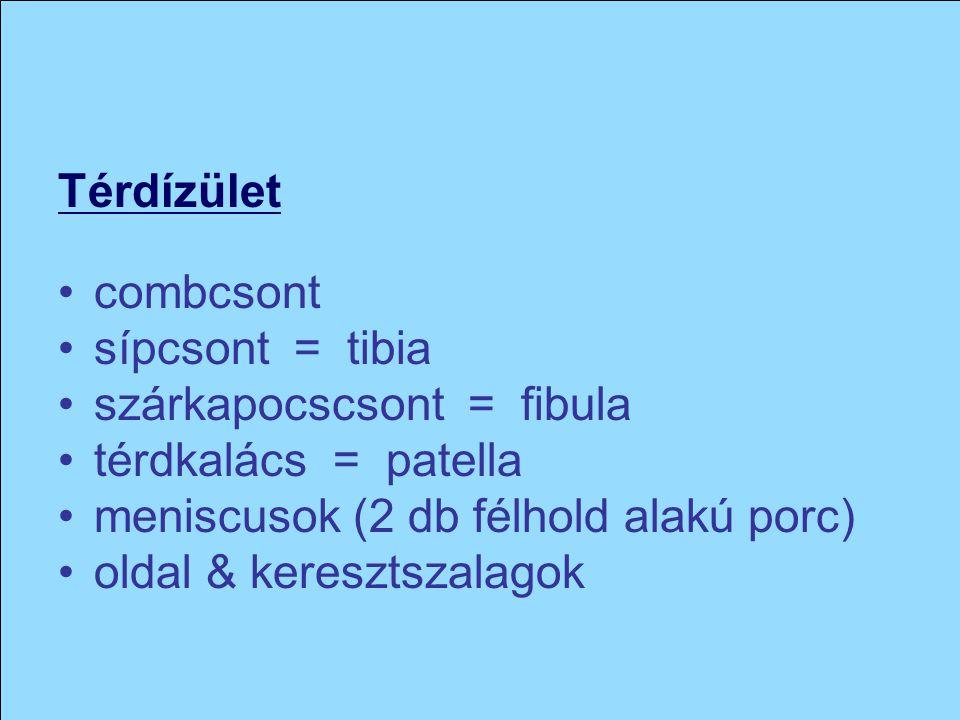 Térdízület combcsont sípcsont = tibia szárkapocscsont = fibula térdkalács = patella meniscusok (2 db félhold alakú porc) oldal & keresztszalagok