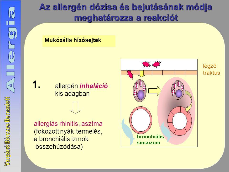 Az allergén dózisa és bejutásának módja meghatározza a reakciót Mukózális hízósejtek allergén inhaláció kis adagban allergiás rhinitis, asztma (fokozott nyák-termelés, a bronchiális izmok összehúzódása) 1.