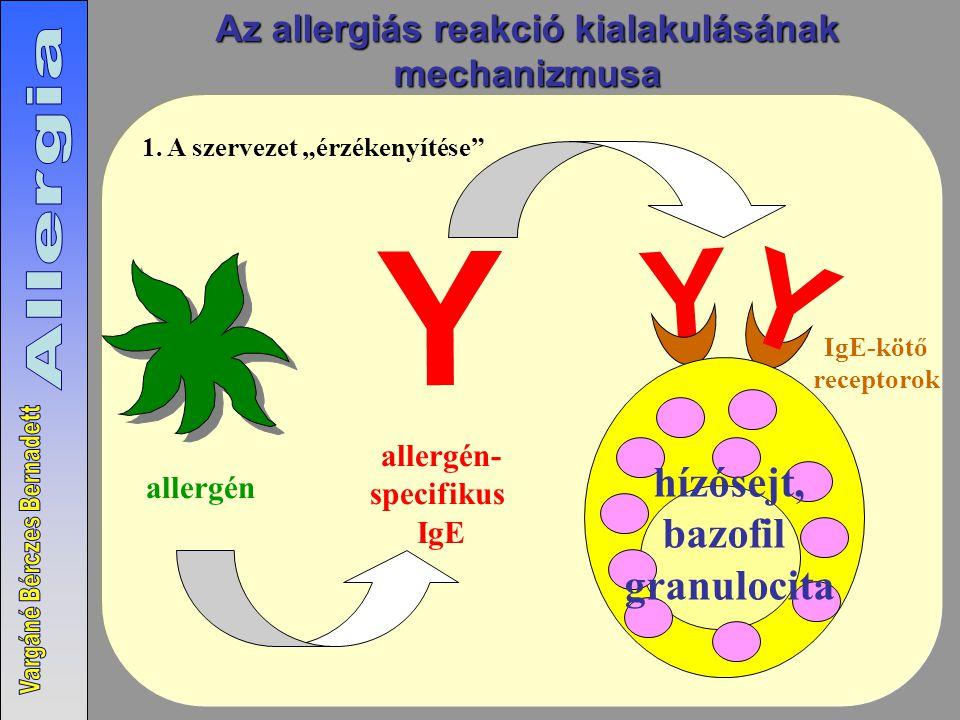 """allergén allergén- specifikus IgE Y Y hízósejt, bazofil granulocita IgE-kötő receptorok Y 1. A szervezet """"érzékenyítése"""" Az allergiás reakció kialakul"""