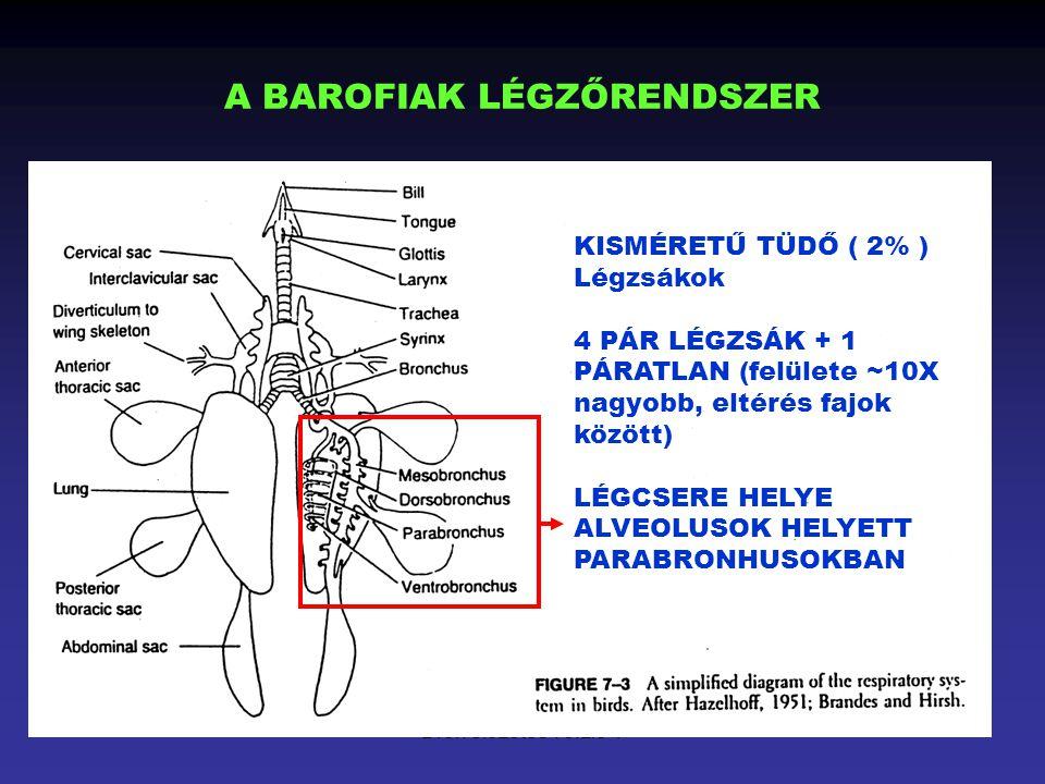 Drén előzetes verzió 1 A BAROFIAK LÉGZŐRENDSZER KISMÉRETŰ TÜDŐ ( 2% ) Légzsákok 4 PÁR LÉGZSÁK + 1 PÁRATLAN (felülete ~10X nagyobb, eltérés fajok közöt