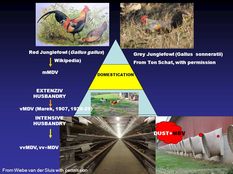 Drén előzetes verzió 1 A BAROFIAK LÉGZŐRENDSZER KISMÉRETŰ TÜDŐ ( 2% ) Légzsákok 4 PÁR LÉGZSÁK + 1 PÁRATLAN (felülete ~10X nagyobb, eltérés fajok között) LÉGCSERE HELYE ALVEOLUSOK HELYETT PARABRONHUSOKBAN