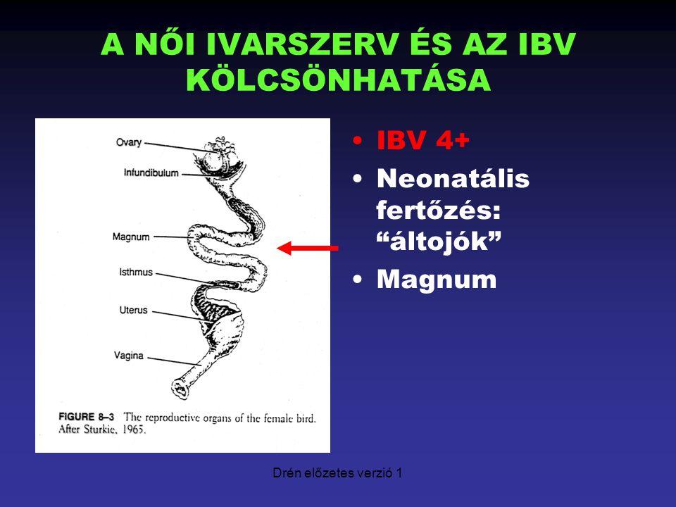 """Drén előzetes verzió 1 A NŐI IVARSZERV ÉS AZ IBV KÖLCSÖNHATÁSA IBV 4+ Neonatális fertőzés: """"áltojók"""" Magnum"""