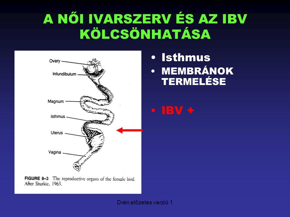 Drén előzetes verzió 1 A NŐI IVARSZERV ÉS AZ IBV KÖLCSÖNHATÁSA Isthmus MEMBRÁNOK TERMELÉSE IBV +
