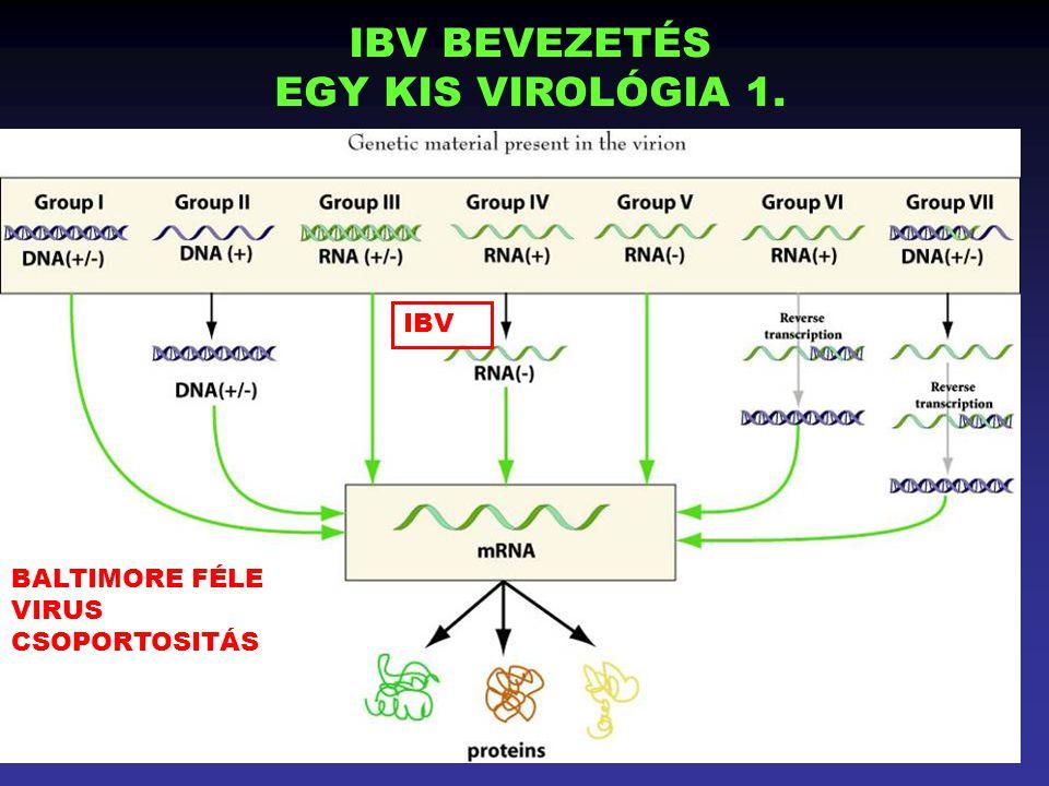 Drén előzetes verzió 1 BALTIMORE FÉLE VIRUS CSOPORTOSITÁS IBV BEVEZETÉS EGY KIS VIROLÓGIA 1. IBV