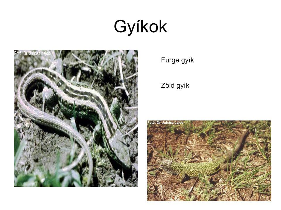 Gyíkok Fürge gyík Zöld gyík