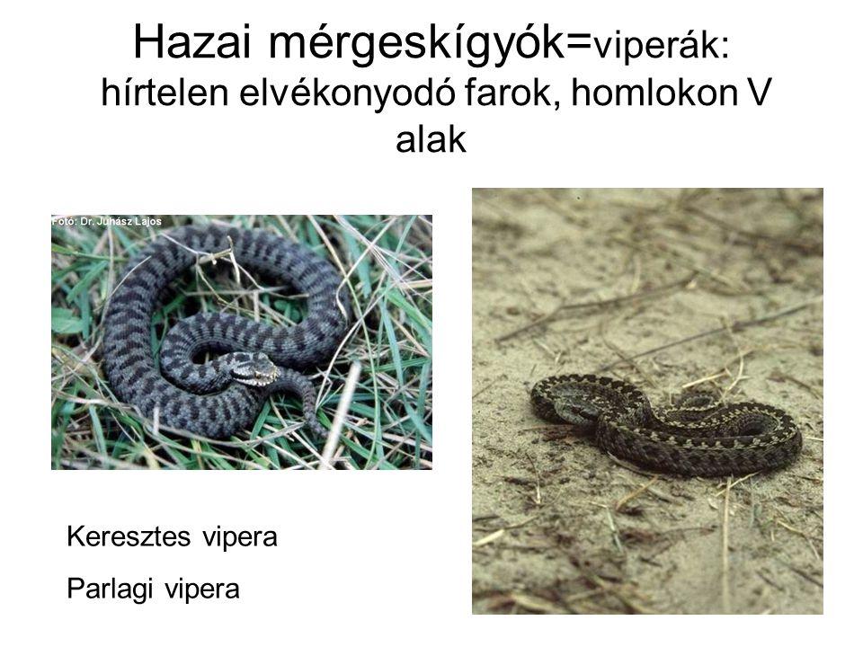 Hazai mérgeskígyók= viperák: hírtelen elvékonyodó farok, homlokon V alak Keresztes vipera Parlagi vipera