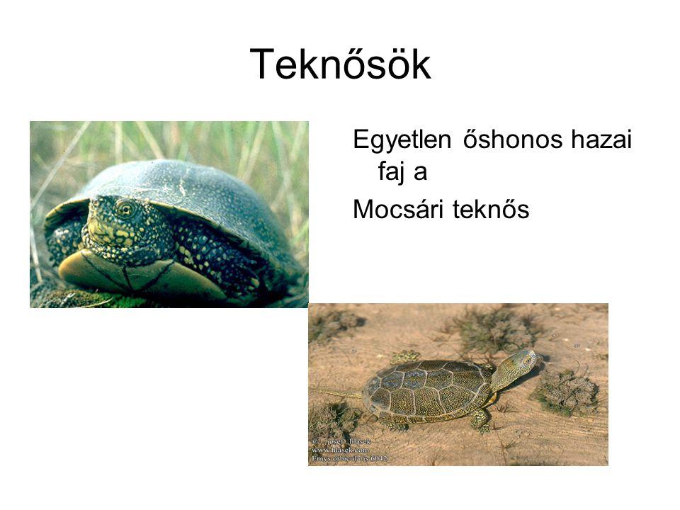 Teknősök Egyetlen őshonos hazai faj a Mocsári teknős