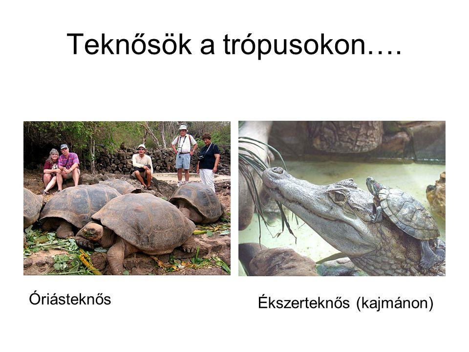 Teknősök a trópusokon…. Óriásteknős Ékszerteknős (kajmánon)