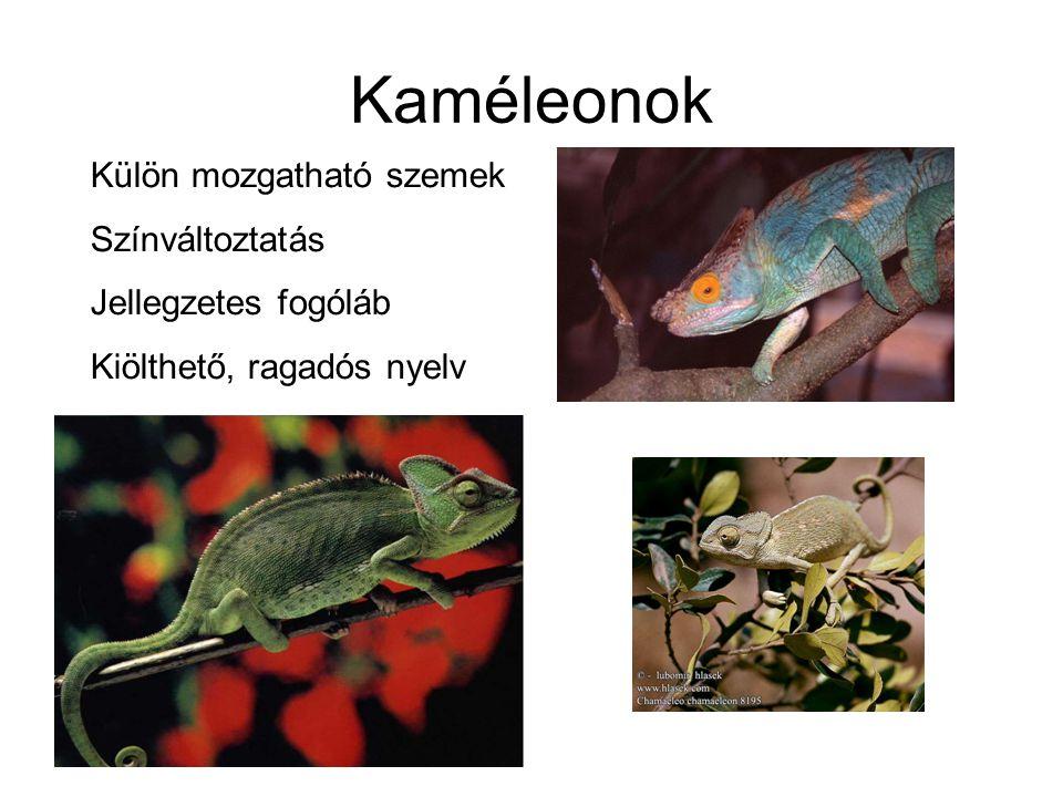 Kaméleonok Külön mozgatható szemek Színváltoztatás Jellegzetes fogóláb Kiölthető, ragadós nyelv
