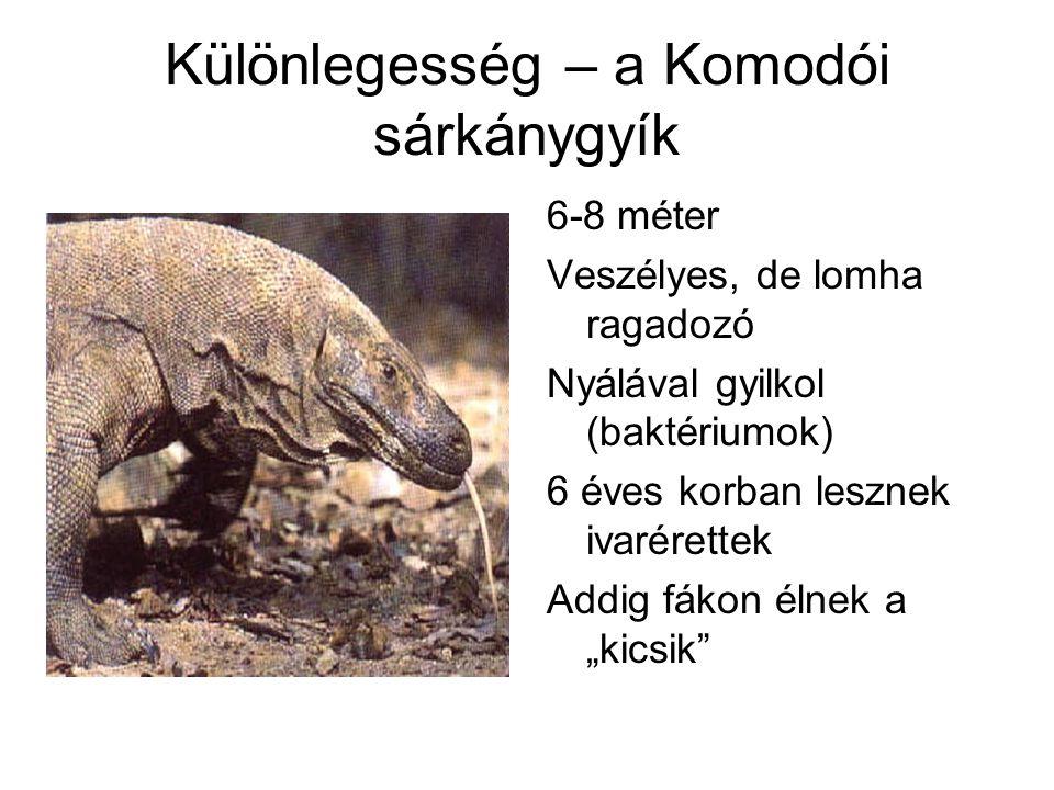 Különlegesség – a Komodói sárkánygyík 6-8 méter Veszélyes, de lomha ragadozó Nyálával gyilkol (baktériumok) 6 éves korban lesznek ivarérettek Addig fá