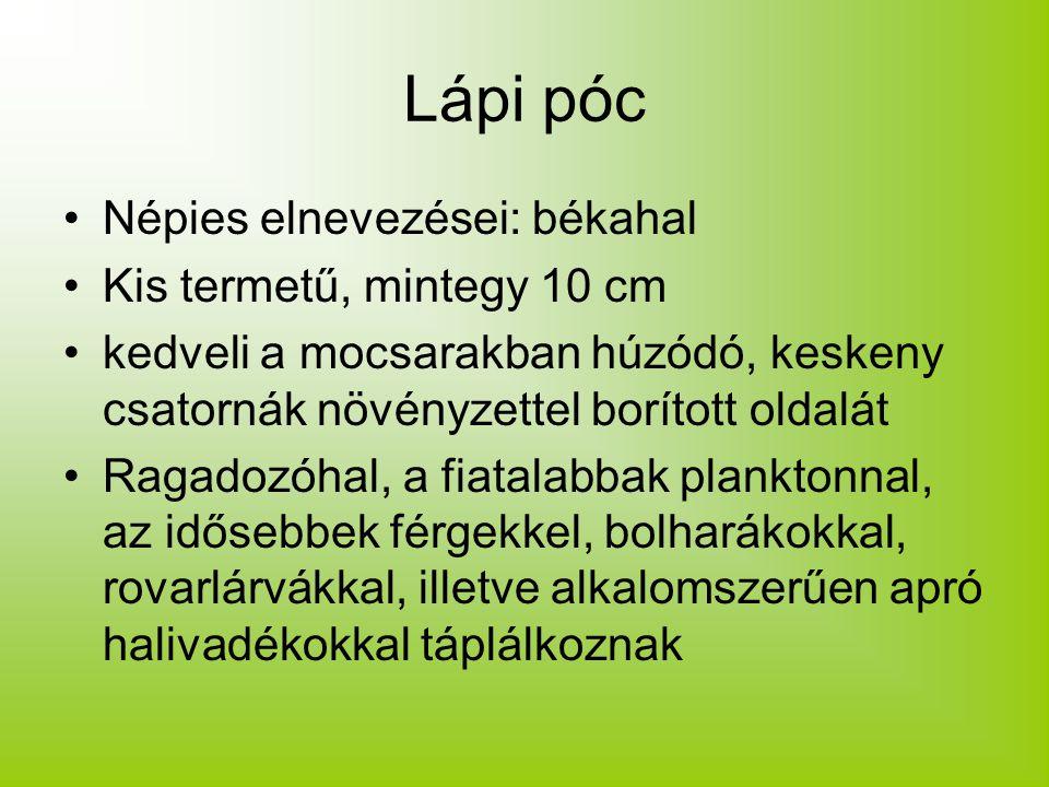 Lápi póc Népies elnevezései: békahal Kis termetű, mintegy 10 cm kedveli a mocsarakban húzódó, keskeny csatornák növényzettel borított oldalát Ragadozó