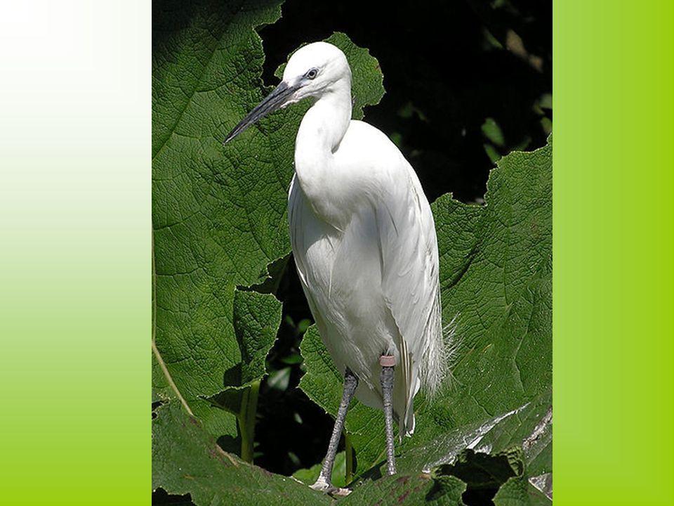 Hamvas rétihéja Testmagassága 43-47 centiméter, szárnyfesztávolsága 105-120 centiméter.