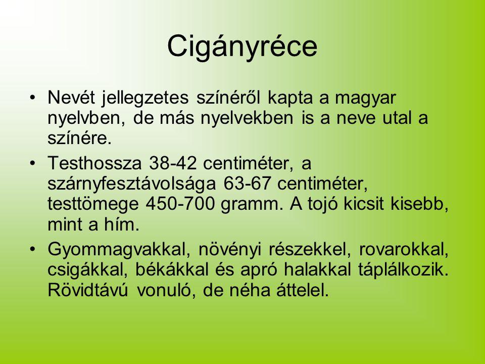 Cigányréce Nevét jellegzetes színéről kapta a magyar nyelvben, de más nyelvekben is a neve utal a színére. Testhossza 38-42 centiméter, a szárnyfesztá
