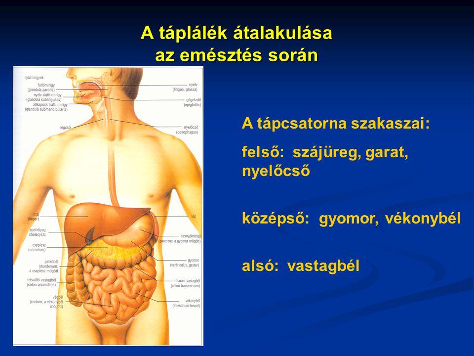 A táplálék átalakulása az emésztés során A tápcsatorna szakaszai: felső: szájüreg, garat, nyelőcső középső: gyomor, vékonybél alsó: vastagbél