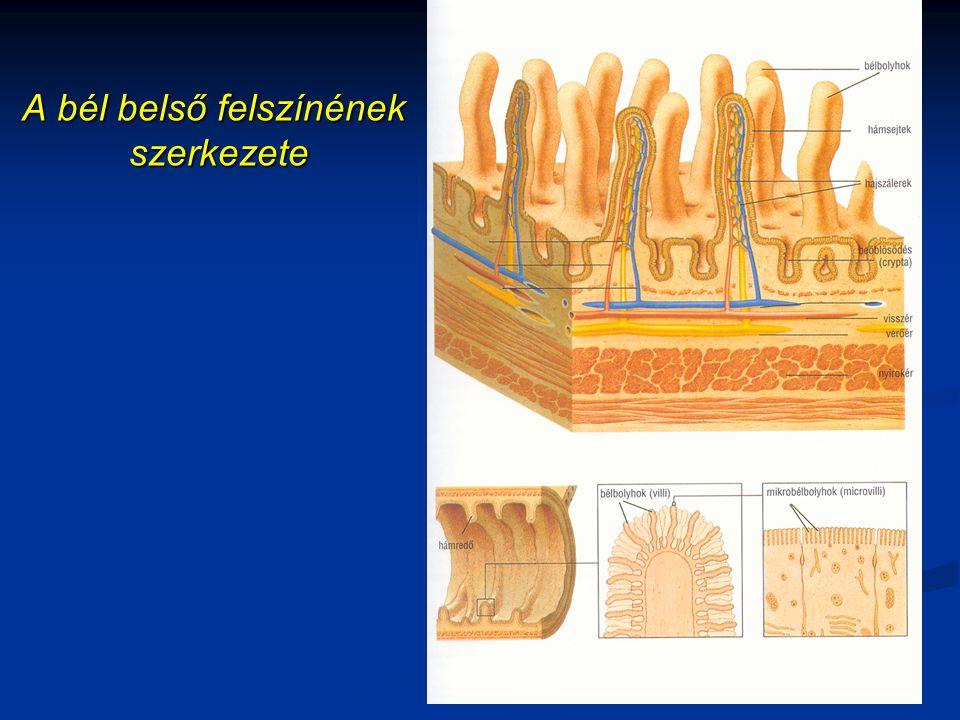 A bél belső felszínének szerkezete