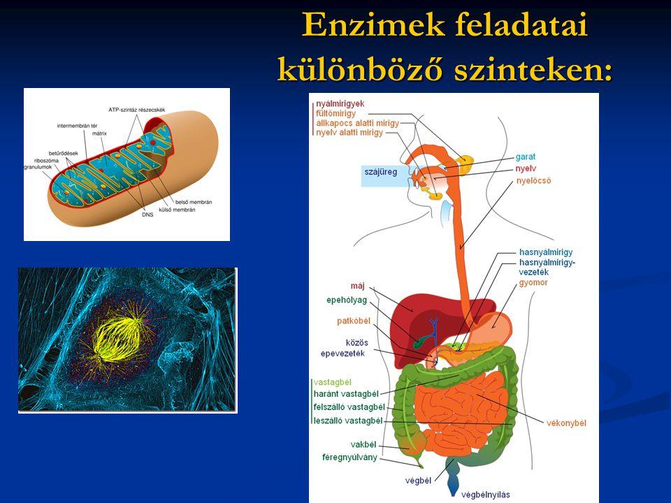 Enzimek feladatai különböző szinteken: